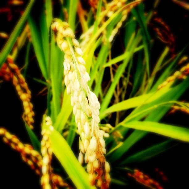 お米の収穫体験
